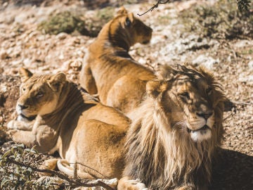 Leones en el refugio de Al Ma'wa, Jordania