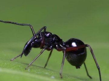 La araña 'Toxeus magnus' que amamanta a sus crías