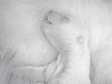 La osezna Fluffy