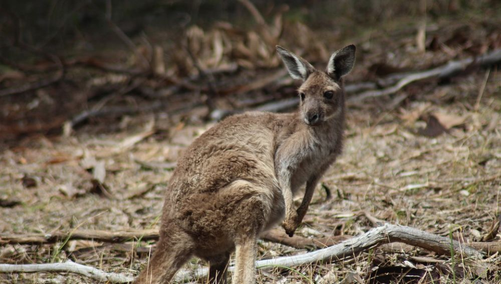 Imagen de archivo de un canguro