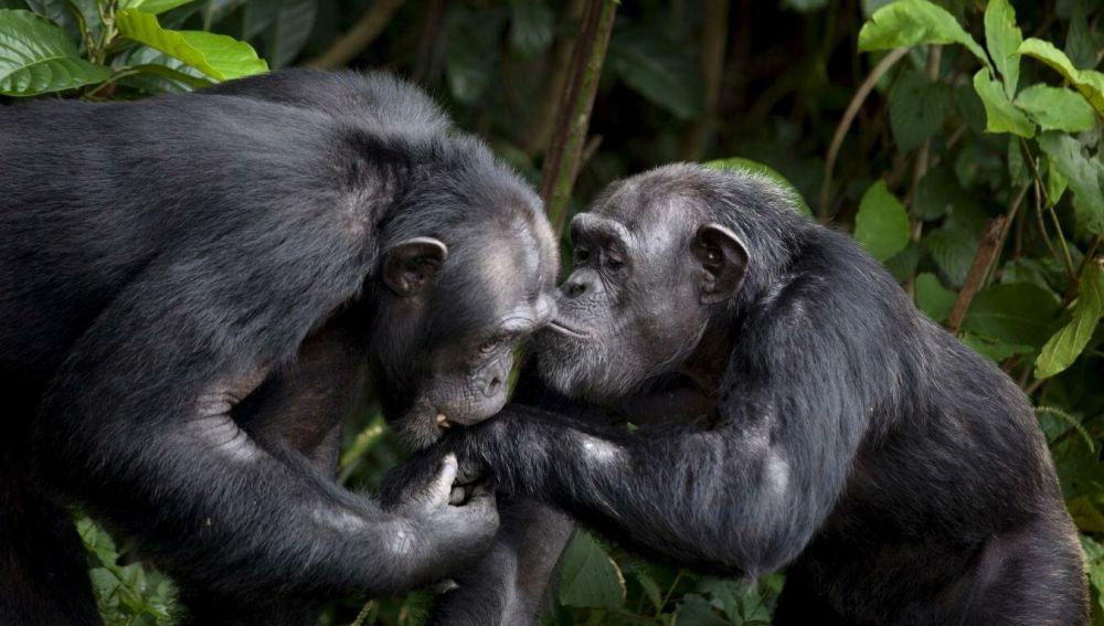 Chimpancés en 'Monkey Island'