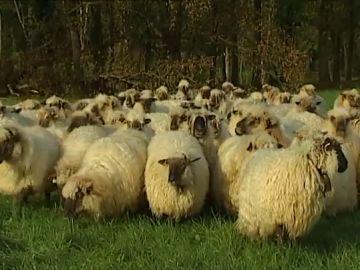 """Se multiplican los ataques de perros sueltos a ovejas en Gipuzkoa: """"Las encontré desgarradas pero vivas"""""""
