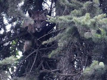 El joven puma en el árbol a ocho metros de altura