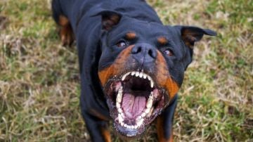 Imagen de archivo de un Rottweiler
