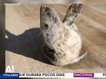 Una foca intenta regresar al mar