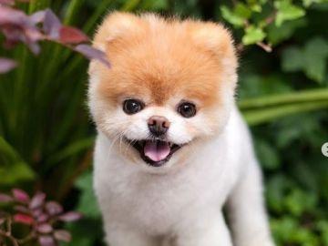 Imagen del perro Boo