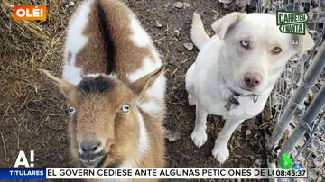 Un perro desaparece y regresa a casa al día siguiente en compañía de otro cachorro y un cabra