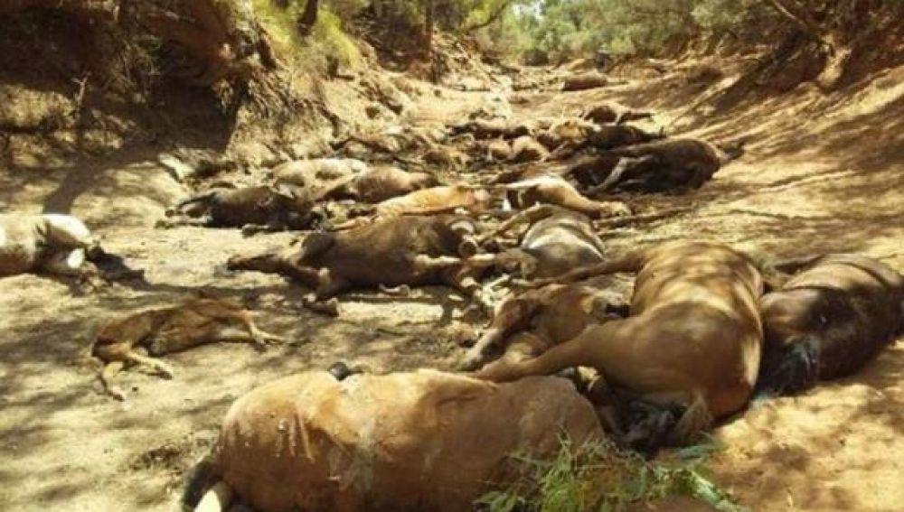 Caballos muertos en Santa Teresa, Australia.