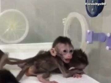 Experimento científico sin precedentes: China logra clonar cinco monos modificados genéticamente