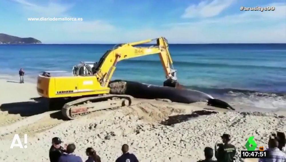 Un grupo de biólogos y veterinarios comienza la necropsia a la ballena varada en Mallorca