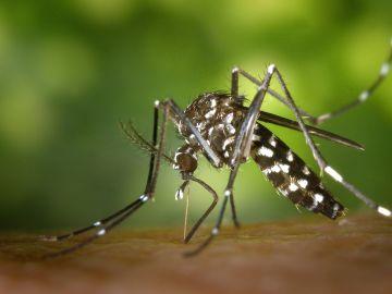 Imagen del Mosquito Tigre (Archivo)
