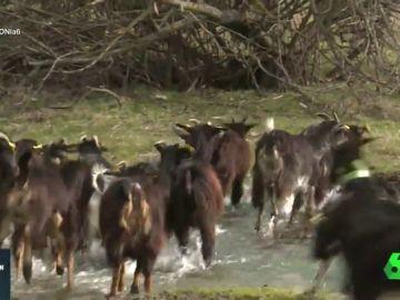 Pastoreamos con cabras de Guadarrama en peligro de extinción