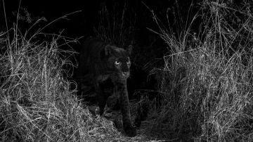 El leopardo negro avistado en Kenia