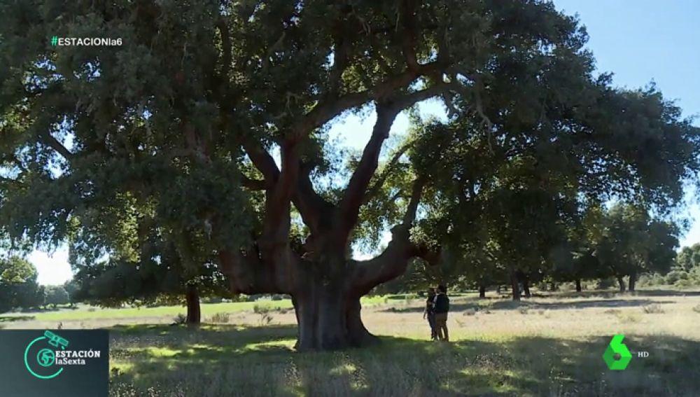 'Catedrales Vivas', la ruta de los árboles que han sido testigos de la historia de España