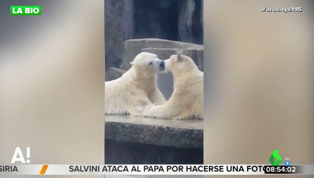 """El sorprendente vídeo en el que dos osos polares """"se besan con lengua"""" en un zoo de Hungría"""