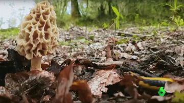 La comida de lujo que puede volverse mortal: te enseñamos a eliminar las sustancias tóxicas de las setas colmenillas