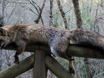 Imagen del zorro hallado muerto y atado en el parque natural de Las Ubiñas, Asturias