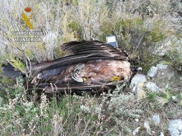 Uno de los ejemplares hallados de Águila Imperial (Archivo)