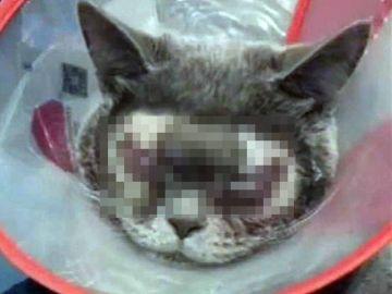 Gato intervenido en una cirugía plástica