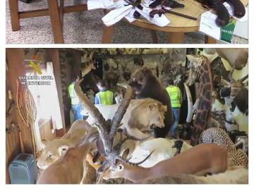 Operación Loxodonta, incautación animales disecados ilegalmente
