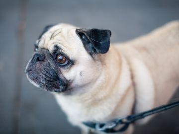 Perro de raza Pug (Archivo)