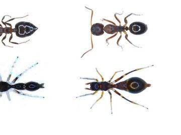 Así es la araña capaz de convertirse en hormiga para protegerse de los depredadores