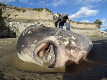 Pez luna gigantesco varado en la costa sur de California