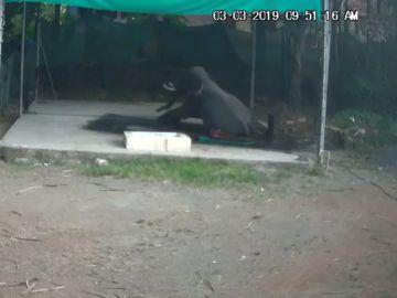 Un elefante mata a su cuidador al sentarse encima de él por error