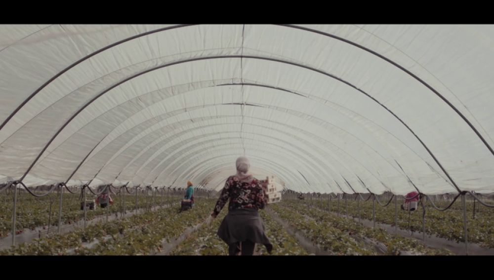 Estas son las condiciones laborales de las temporeras: una jornada entera agachadas recogiendo fresas a seis euros la hora