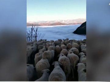 La ilusión óptica que nos deja la niebla: un rebaño de ovejas parece caminar hacia un precipicio