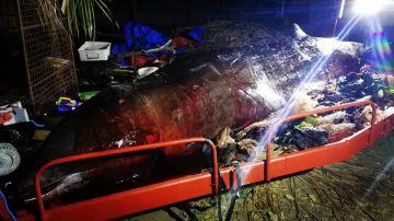 La ballena hallada muerta con plásticos en el estómago