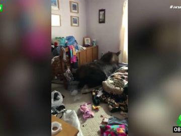 Un alce se cuela en el sótano de una vivienda y causa graves destrozos