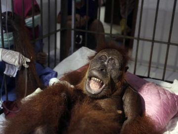 'Hope', la orangutana que sobrevivió a 74 disparos de perdigón