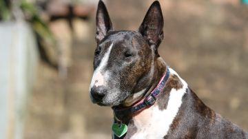 Un bull terrier, raza de perro que atacó a la menor de 15 años