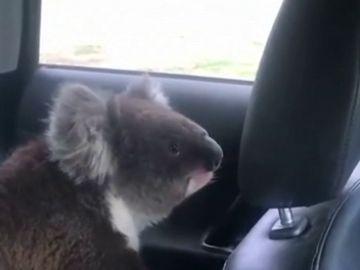Sale de su coche y al volver se encuentra a su perro jugando con un koala