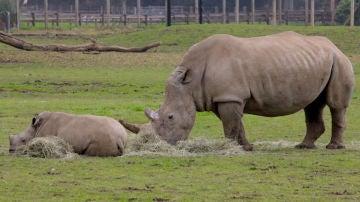 Rinocerontes