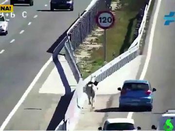 Un caballo desbocado provoca kilométricas retenciones en la A5 a la altura del municipio madrileño de Navalcarnero