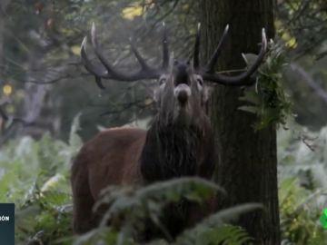 Con la llegada de la primavera los ciervos pierden los cuernos: así es el desmogue de los animales