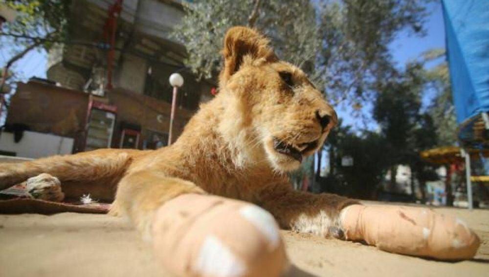Mutilan a una leona para atraer más gente a un zoológico