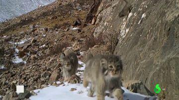 Captan varias crías de leopardo de las nieves correteando en el Himalaya