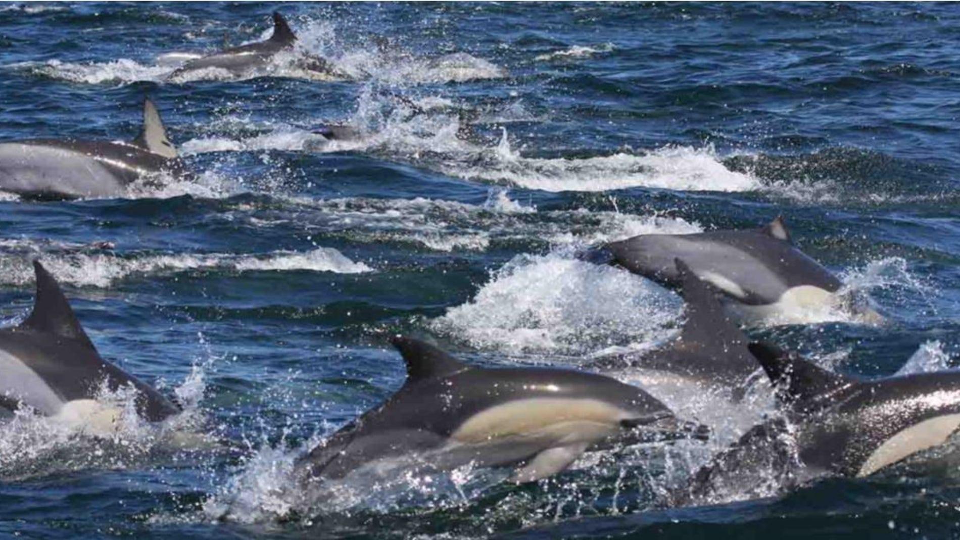 Los niveles de contaminantes en los delfines del Indico superan a los del Mar de Alboran
