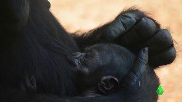 Cría de gorila en el Bioparc de Valencia