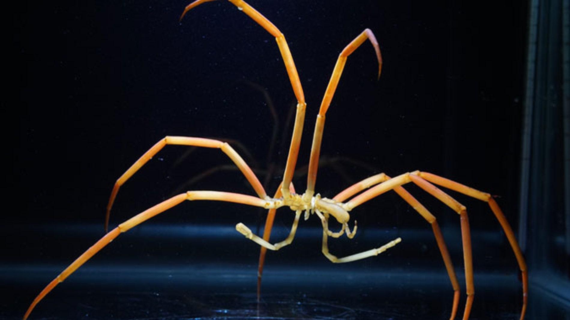 Asi alcanzan su gran tamano las aranas marinas gigantes
