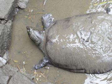 Fotografía de una tortuga del Yangtsé en el barro en su recinto en el zoo de Suzhou en China