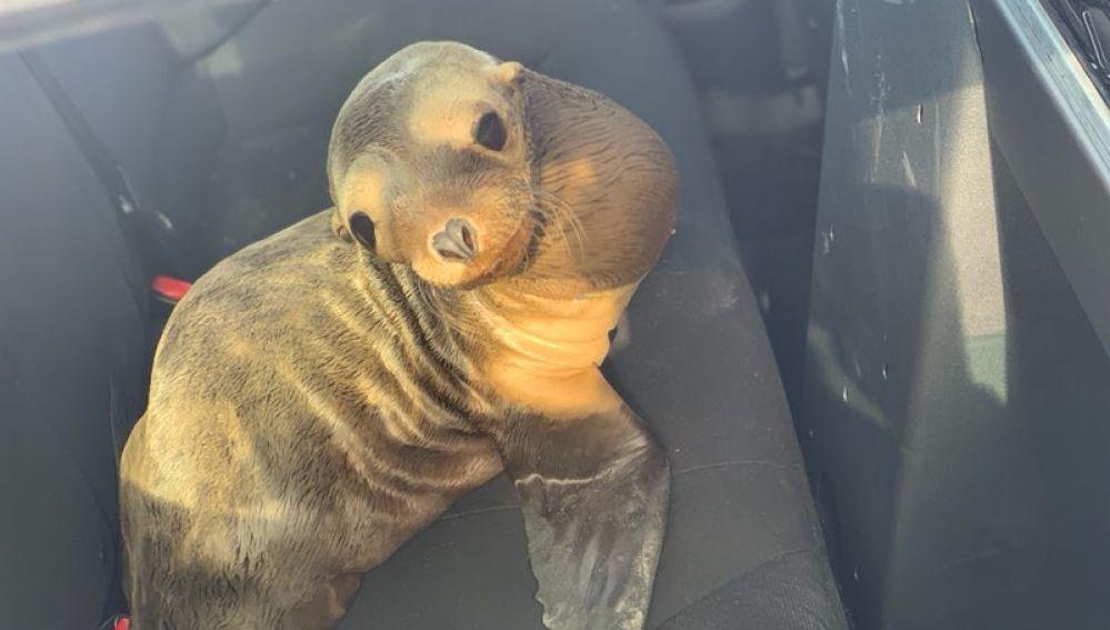 El león marino rescatado