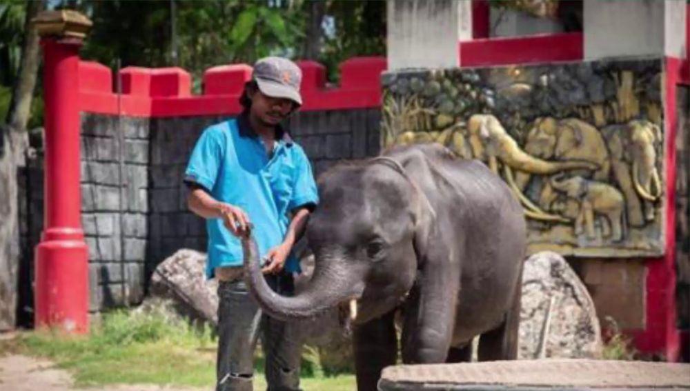 Muere un elefante bebé que era obligado a bailar y hacer trucos en un zoo de Tailandia