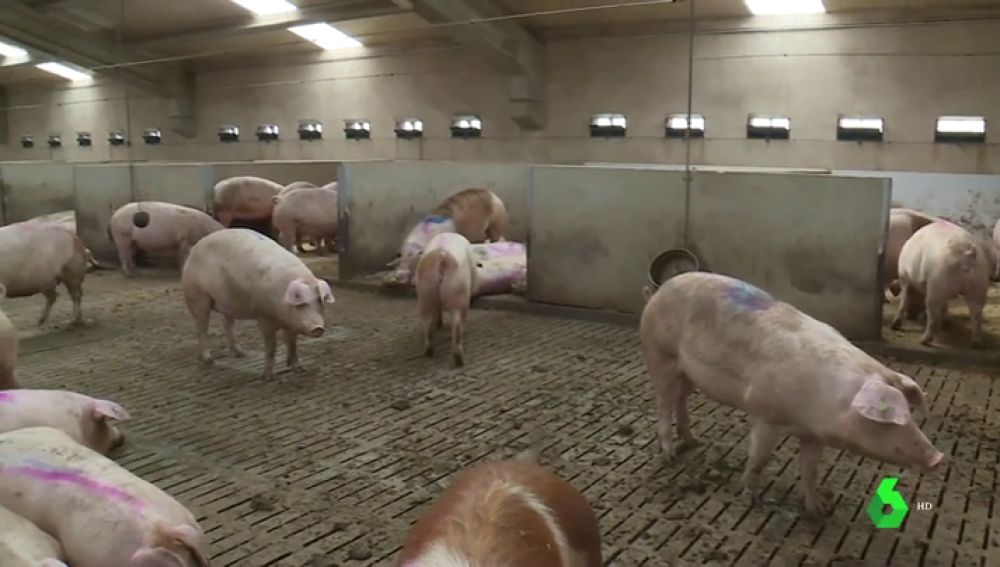 Imagen del interior de una granja de cerdos