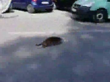 Sorpresa en Murcia por una nutria desorientada correteando por las calles de la ciudad