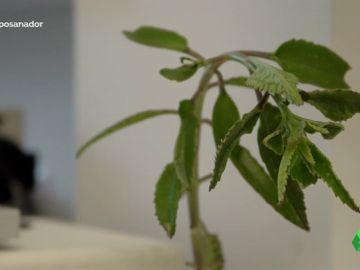 La verdad sobre el Kalanchoe, la planta tóxica que receta Pàmies para curar el cáncer
