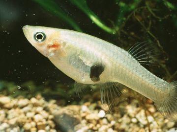 Imagen de un pez mosquito
